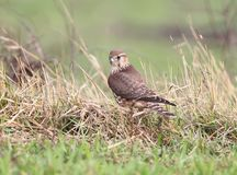 The Merlin Falco columbarius female portrait. The Merlin Falco columbarius femalesits on the ground Royalty Free Stock Photos