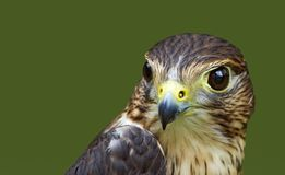 Merlin (Falco columbarius) Head Royalty Free Stock Photos