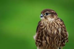 Merlin Falco columbarius Royalty Free Stock Photos