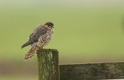 Merlin Falco columbarius perched on a wooden fencing post. Stock Photo