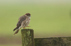 Merlin Falco columbarius perched on a wooden fencing post. A Merlin Falco columbarius perched on a wooden fencing post Royalty Free Stock Images