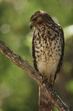 Merlin (Falco columbarius) perching on branch Stock Images