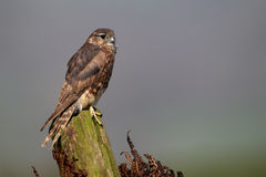 Merlin, Falco columbarius. Single female on post, captive, April 2011 stock photos
