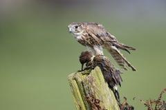 Merlin, Falco columbarius Royalty Free Stock Images
