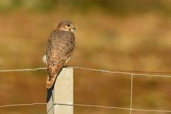 Merlin - Falco columbarius Stock Image