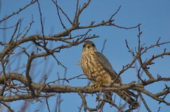 Merlin Falco columbarius. The Merlin Falco columbarius is a small species of falcon from the Northern Hemisphere. A bird of prey once known colloquially as a royalty free stock photo