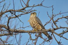 Merlin Falco columbarius. The Merlin Falco columbarius is a small species of falcon from the Northern Hemisphere. A bird of prey once known colloquially as a royalty free stock images