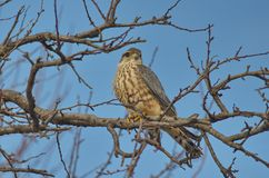 Merlin Falco columbarius. The Merlin Falco columbarius is a small species of falcon from the Northern Hemisphere. A bird of prey once known colloquially as a royalty free stock photos