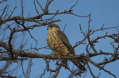 Merlin Falco columbarius. The Merlin Falco columbarius is a small species of falcon from the Northern Hemisphere. A bird of prey once known colloquially as a stock image