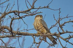 Merlin Falco columbarius. The Merlin Falco columbarius is a small species of falcon from the Northern Hemisphere. A bird of prey once known colloquially as a royalty free stock image