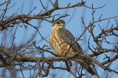 Merlin Falco columbarius. The Merlin Falco columbarius is a small species of falcon from the Northern Hemisphere. A bird of prey once known colloquially as a royalty free stock photography