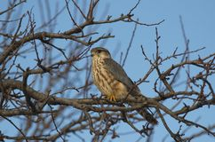 Merlin Falco columbarius. The Merlin Falco columbarius is a small species of falcon from the Northern Hemisphere. A bird of prey once known colloquially as a stock photo