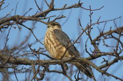 Merlin Falco columbarius. The Merlin Falco columbarius is a small species of falcon from the Northern Hemisphere. A bird of prey once known colloquially as a stock photography
