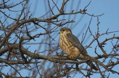 Merlin Falco columbarius. The Merlin Falco columbarius is a small species of falcon from the Northern Hemisphere. A bird of prey once known colloquially as a stock images