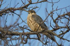 Merlin Falco columbarius. The Merlin Falco columbarius is a small species of falcon from the Northern Hemisphere. A bird of prey once known colloquially as a stock photos