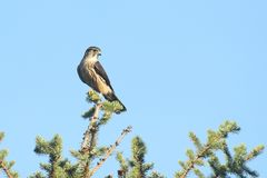 Merlin (Falco columbarius) in a tree Stock Image
