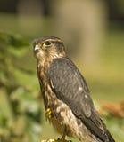 Merlin falcon. Young merlin falcon bird of prey Stock Photography