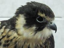 Merlin Falcon Arkivbild