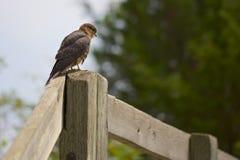 Merlin Falcon auf einer Stange Lizenzfreies Stockbild