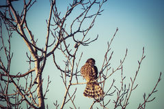Merlin falcon on a branch. Merlin falcon with training jesses on a bare branch with blue sky Stock Image