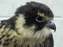 Merlin Falcon. Close up of a Merlin Falcon Stock Photography