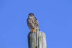 Merlin Falcon Columbarius Stock Image