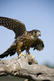 Merlin Falcon Stock Image