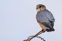 Merlin. Falcon. Falco columbarius. Adult male. Merlin. Falco columbarius. Adult male Stock Images