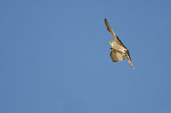 Merlin Falcon Flying in a Blue Sky Stock Images