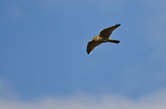 Merlin Falcon Flying in a Blue Sky Stock Image