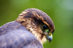Merlin Falcon Macro Stock Images