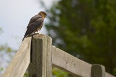 Merlin Falcon on a Perch Royalty Free Stock Image