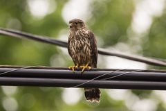 Merlin Falcon. A Merlin falcon perched on a power line in Door County Wisconsin Royalty Free Stock Images