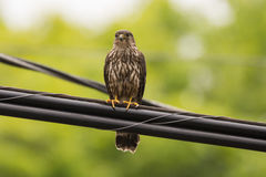 Merlin Falcon. A Merlin falcon perched on a power line in Door County Wisconsin Royalty Free Stock Photo