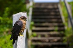 Merlin Falcon Perched on Stairs Royalty Free Stock Images