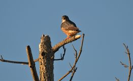 Merlin falcon sitting in tree at sunset royalty free stock photo