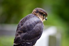 Merlin Falcon Watching Over Royalty Free Stock Image