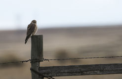 Merlin on a fence post rural America. Falco columbarius. Royalty Free Stock Photos