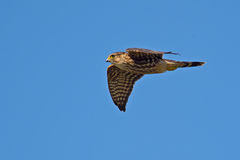 Merlin. In flight against blue sky Stock Image