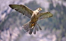 Merlin in flight stock images