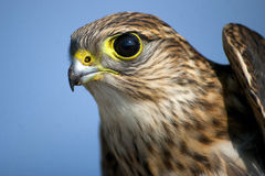 Merlin Hawk Stock Photo