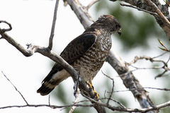 Merlin Hawk sitting on a branch. Stock Photography