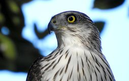 Merlin jastrząb na punkcie obserwacyjnym dla ptaków fotografia stock
