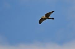 Merlin jastrząbka latanie w niebieskim niebie obraz stock