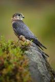 Merlin in legt vast Royalty-vrije Stock Foto