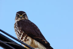 Merlin looking at camera. Merlin, Falco columbarius, on a wire looking down Royalty Free Stock Image