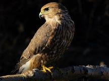 MERLIN-oder Taube-Falke Stockbild