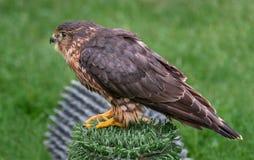 Merlin på Perch Royaltyfri Bild
