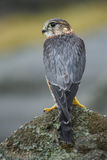 Merlin, perched on a rock Royalty Free Stock Photo