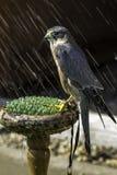 MERLIN - piccolo uccello della preda - nella pioggia Immagine Stock